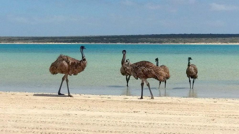 Emus am Strand des Hotels, Monkey Mia Dolphin Resort, Australien Rundreise