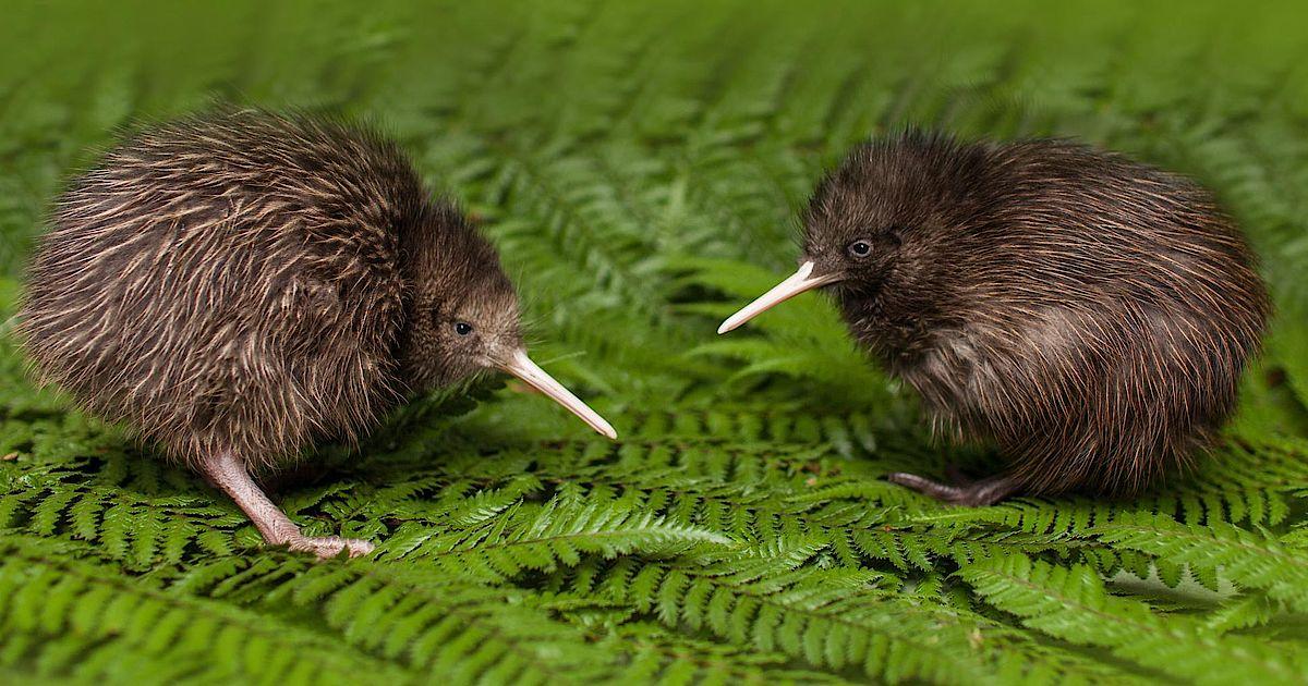 Kiwis Neuseeland